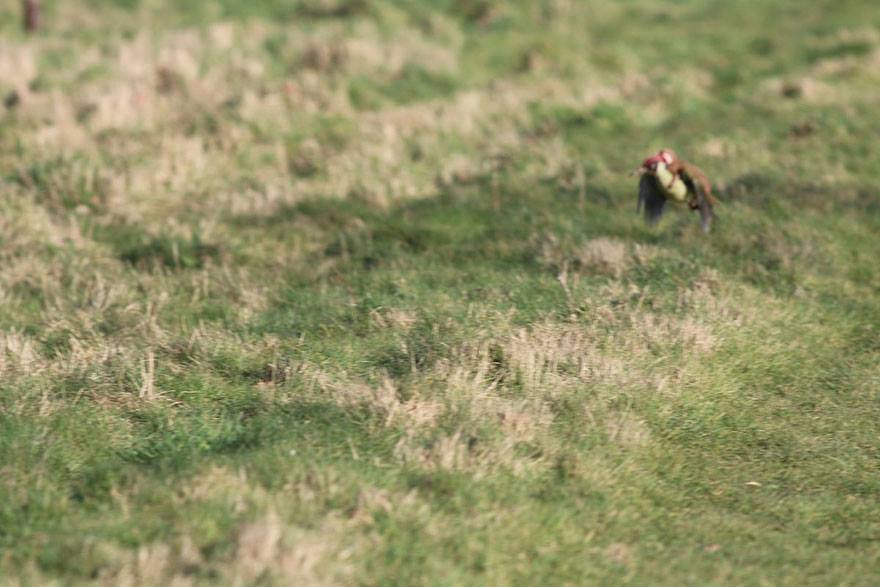 incredible-photos-of-a-woodpecker-flying-with-a-weasel-on-its-back_2015