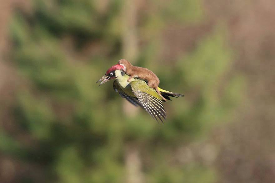 incredible-photos-of-a-woodpecker-flying-with-a-weasel-on-its-back_2019